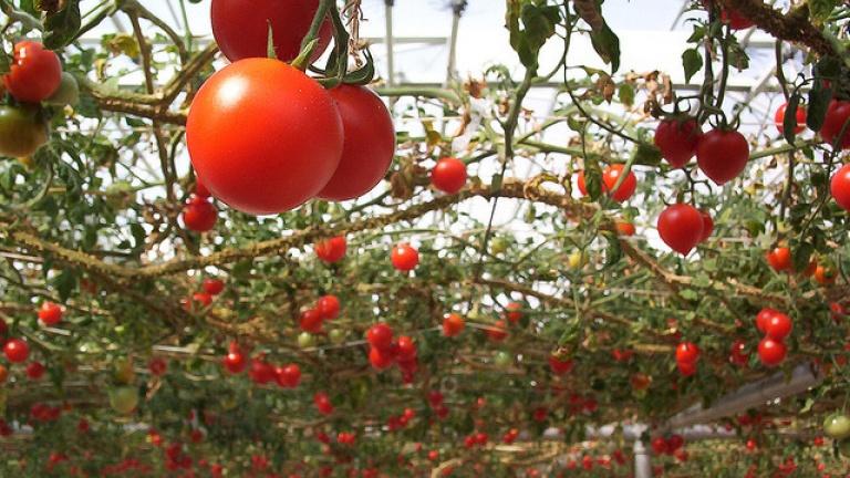 tomate-horta